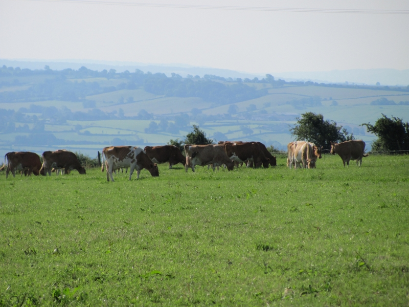 Cattle - The usual residents of the Field